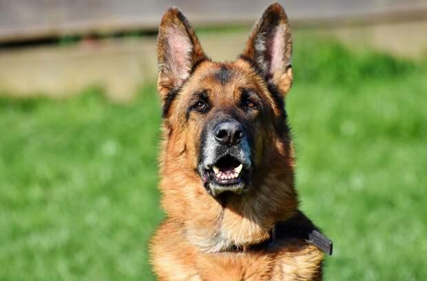 Служебная собака помогла поймать вора в Сарапуле