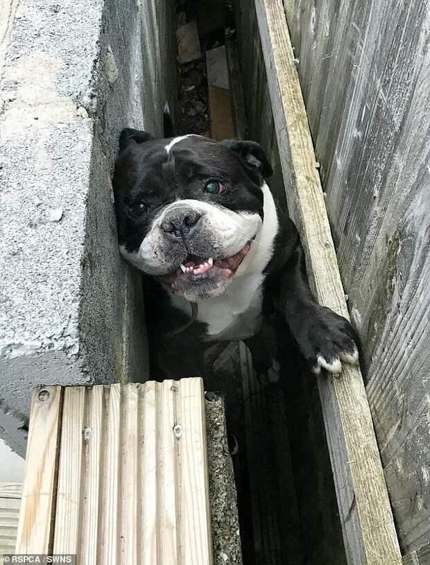 Офицеры RSPCA также помогли Рокси бульдогу после того, как он застрял между стеной и забором в Суонси животные, застряли, смешно, спасение, чудесные истории