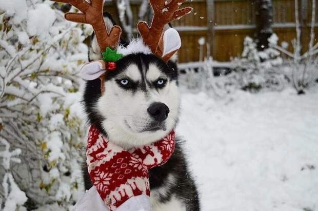 """""""Фу, какая гадость этот ваш Новый год!"""" Суровый хаски ненавидит новогодние праздники – спрашивается, почему? :)"""