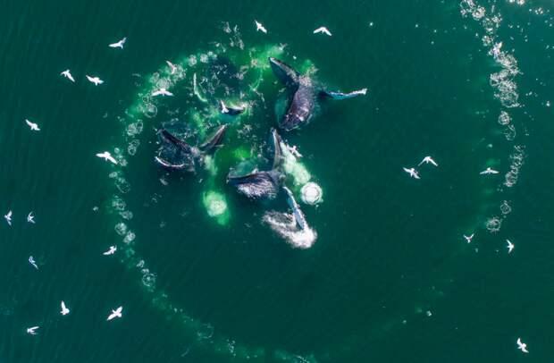 Для того, чтобы эта тактика работала успешнее, киты охотятся стаями.