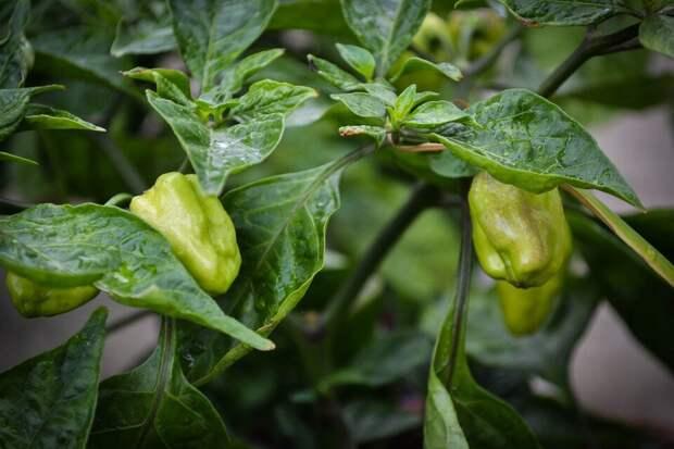 Выращиваем перец с нуля. Секреты богатого урожая