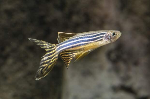 Ученые проверили воздействие наорганизм сетей 4G и5G нарыбах