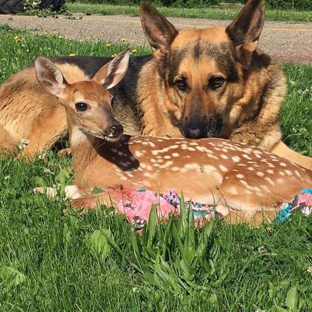Женщина приютила осиротевшего оленёнка, а её пес стал о нём заботится