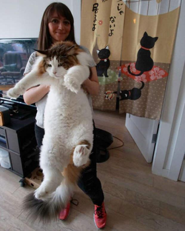 Такие огромные котики, что дадут фору и бегемотикам