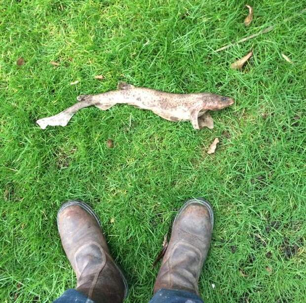 В британский сад с неба упала кошачья акула