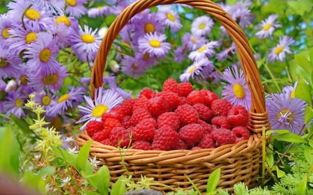 Как получить суперурожай малины и смородины