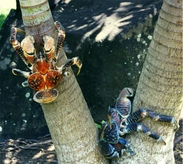 Кокосовый краб - огромный членистоногий монстр