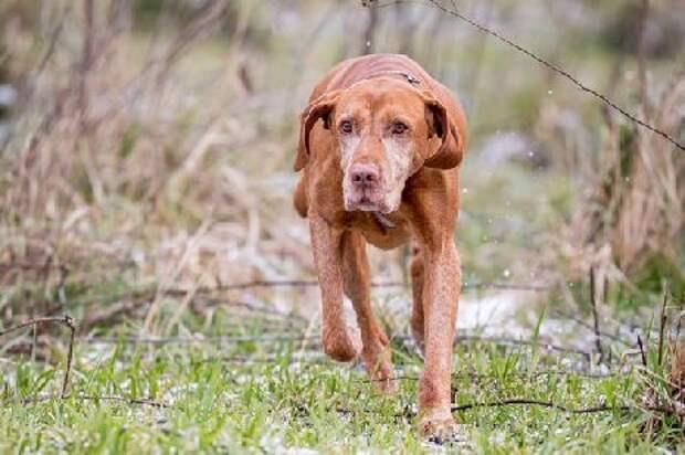 В Тамбове пройдёт выставка легавых собак