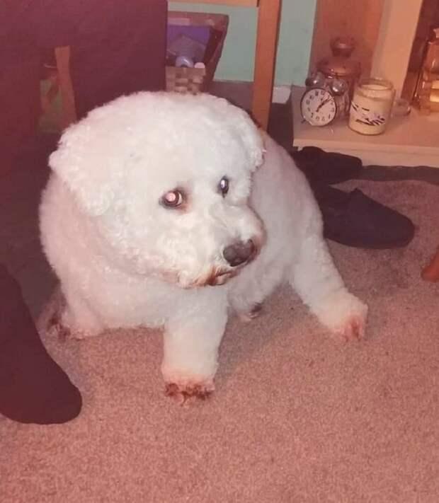 «Свинка Пеппа»: белоснежный пёс внезапно порозовел