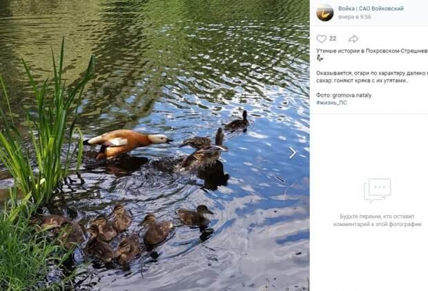 Фото дня: утиные разборки в парке «Покровское-Стрешнево»