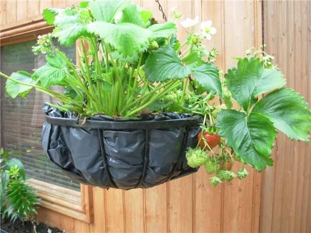 Как вырастить клубнику в подвесных корзинах