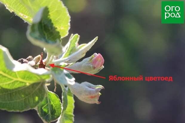 Яблонный цветоед на дереве