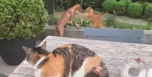 Смелая кошка заступилась за своего друга