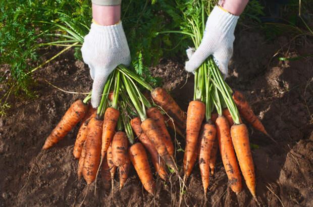 Садим морковь правильно. / Фото: ticketservice-koeln.de.