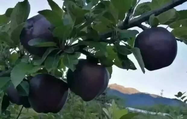 Черные алмазные яблоки продаются по $20 за штуку, но никто не хочет их выращивать