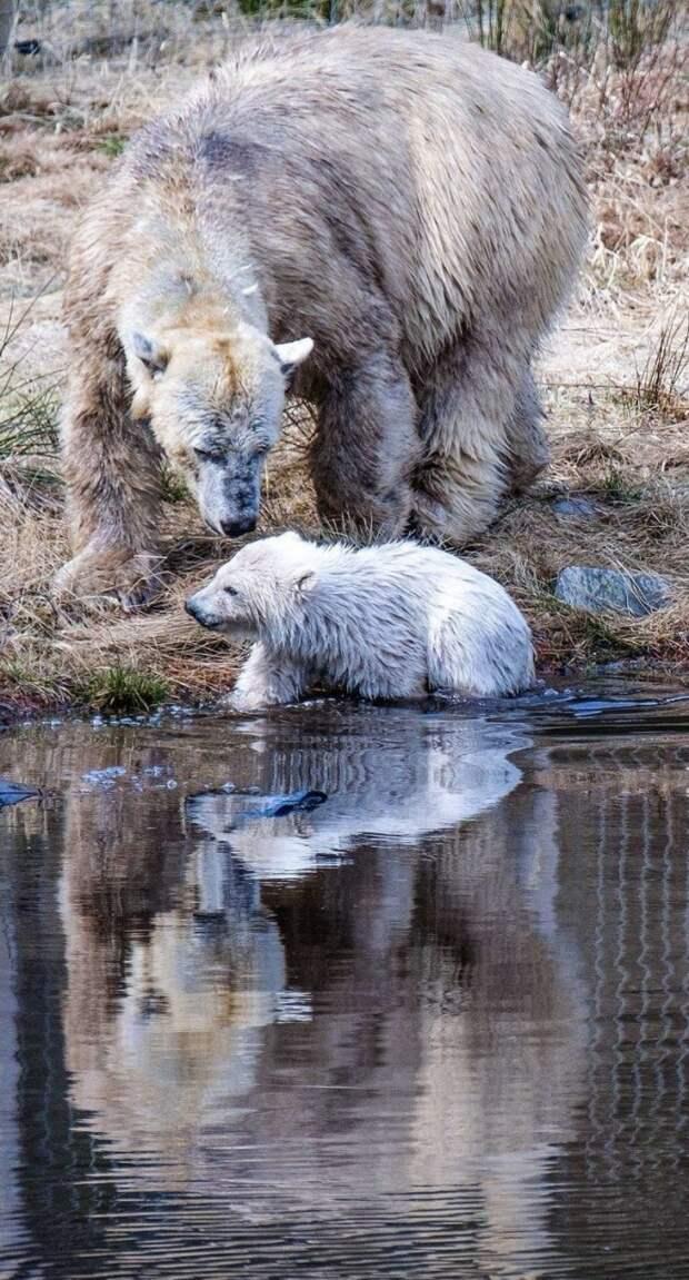 Рождение первого полярного медведя в Великобритании за четверть века - огромное достижение для Шотландского Королевского Зоологического Общества и команды Highland Wildlife Park великобритания, детеныш, животные, медвежонок, пол, полярный медведь, шотландия