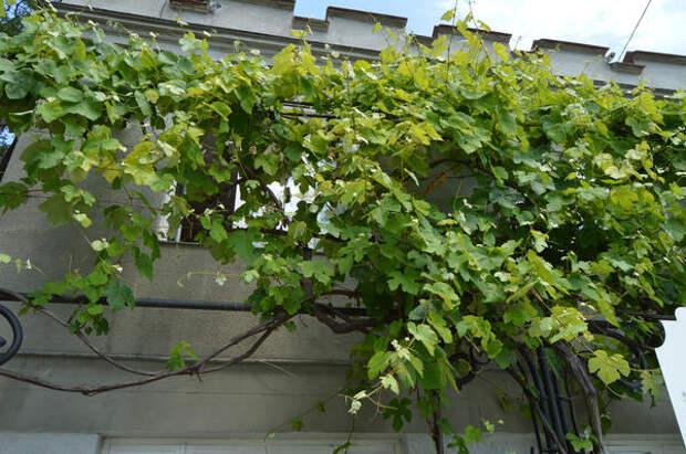 Используйте южные и восточные стены для вьющихся растений
