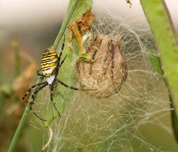 Яйца и коконы пауков