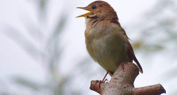 Соловей, пташечка: лесные певцы возвращаются на родину в Подмосковье