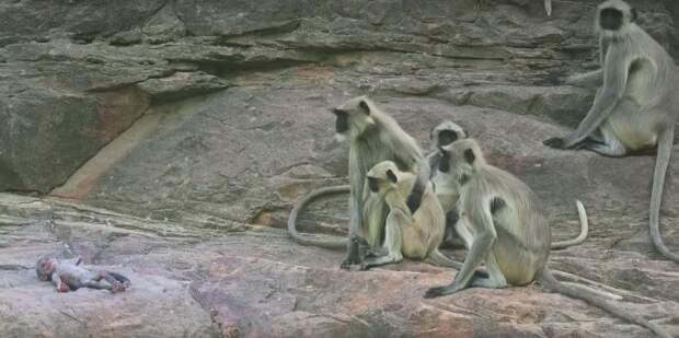 Как обезьяны прощались с «умершим» роботом