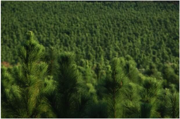 Хвойный запах уменьшает стресс аромат, здоровье, настроение, растения