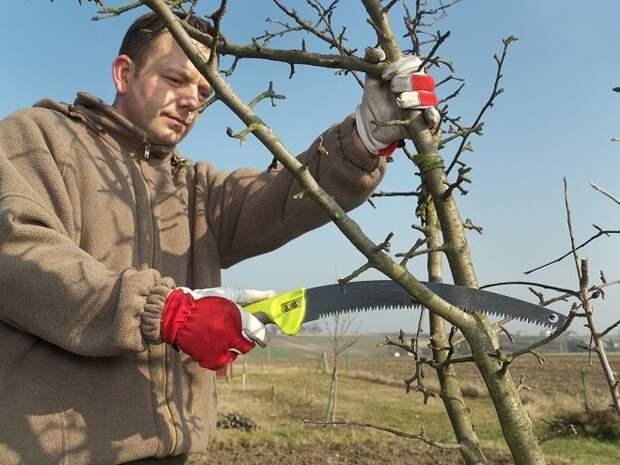 Мужчина обрезает молодую яблоню