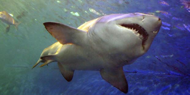 Акулы используют магнитное поле Земли как GPS