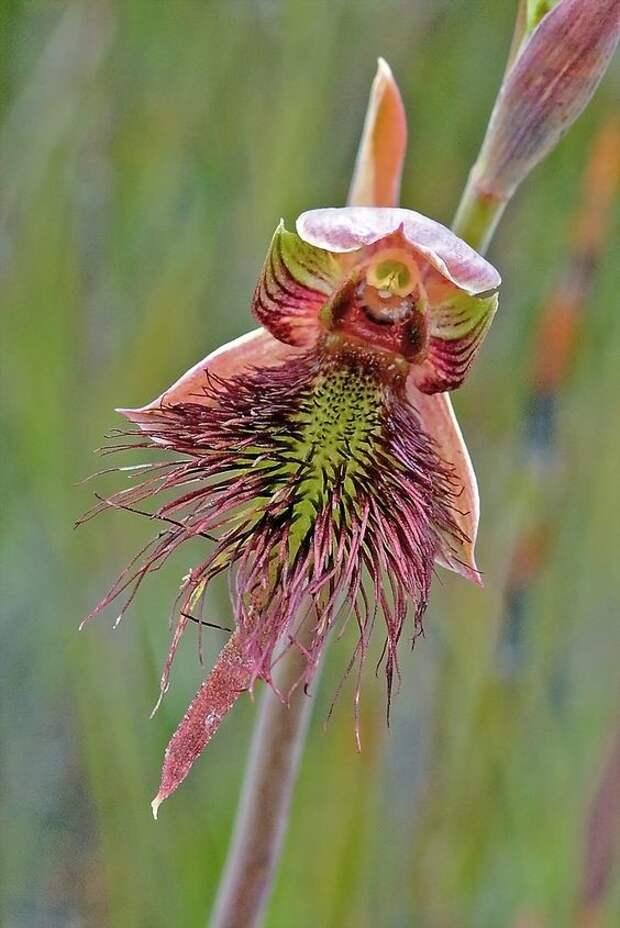 Strap-Beard-Orchid: Calochilus paludosus интересное, красота, орхидеи, флора, цветы