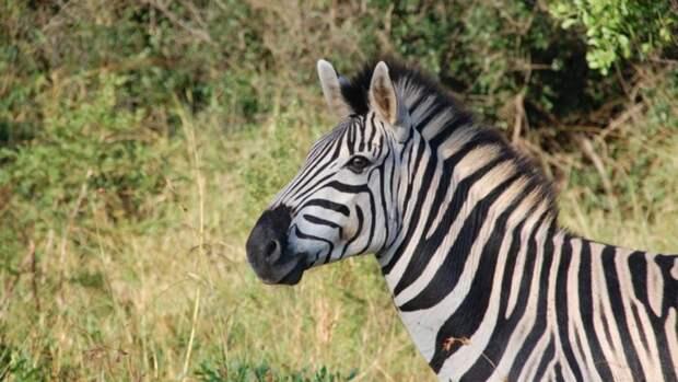 В барнаульском зоопарке появится зебра