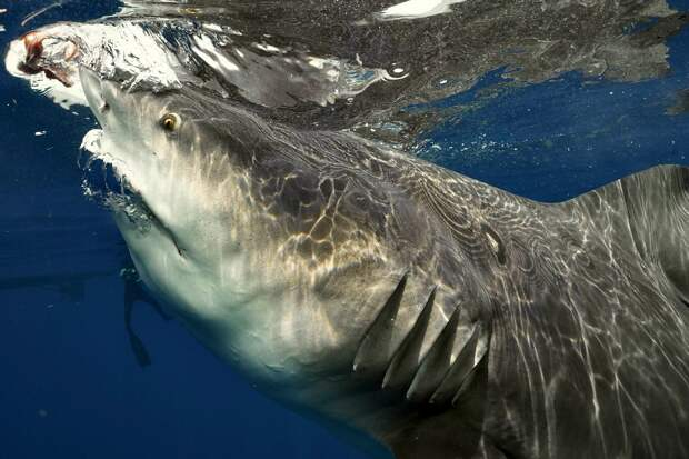 Дайвер столкнулся с самкой акулы во время фридайвинга близ Флориды
