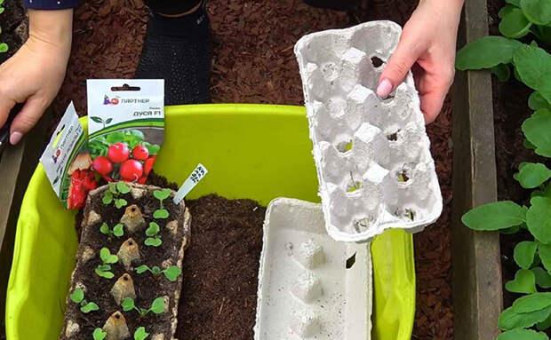 Сажаем редис в яичные лотки, а не в землю: так растет без прополки и рыхления