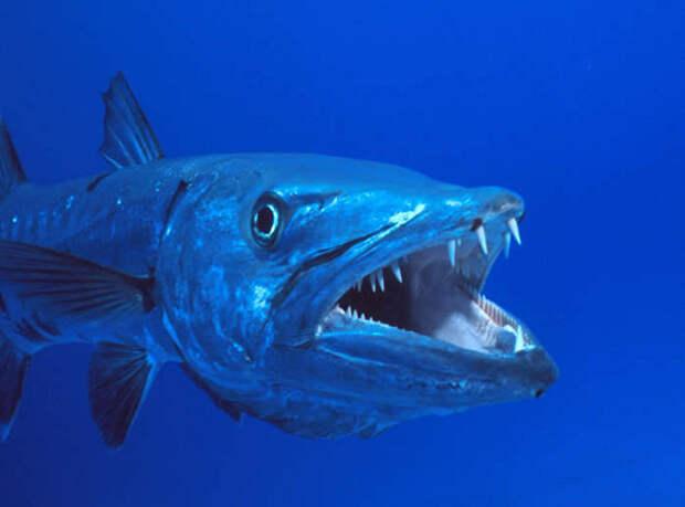 Откуда в Чёрном море появились ядовитые рыбы