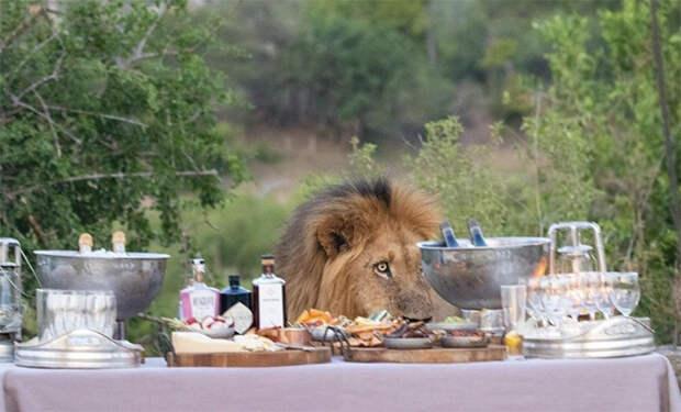 Лев в заповеднике пришел к людям на банкет и сел за стол. Видео