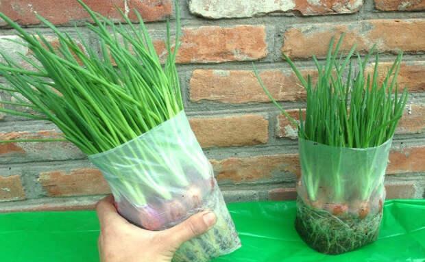 Лук на зелень: растет в обычном пакете на подоконнике
