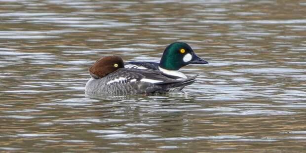 На прудах парка Кузьминки обнаружили редких птиц