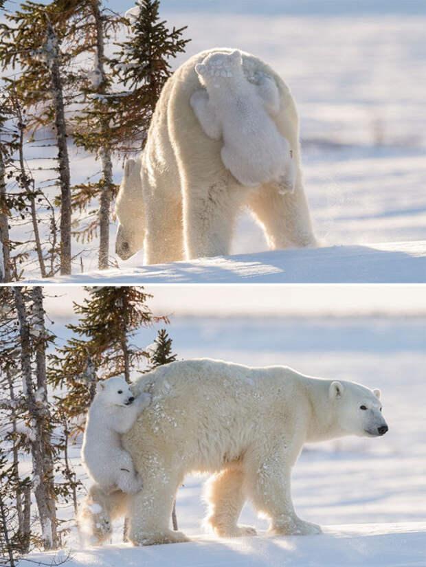 30 забавных снимков медвежат с любящими матерями