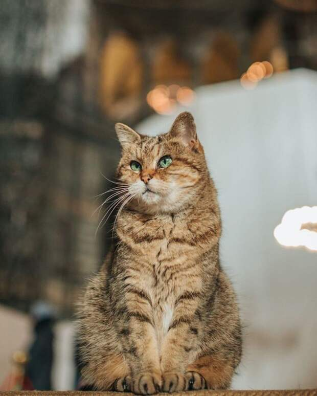 11 милых фото кота, который живет в мечети Святой Софии