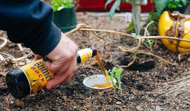 12 необычных способов применения пива на даче и в быту