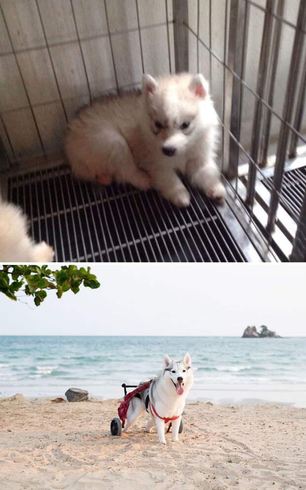 Хаски, родившийся без подушечек лап, нашел хозяина, который подарил ему коляску Счастливый конец, животные, спасение