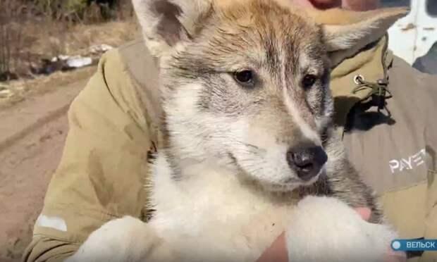Житель Вельска разводит собак новой породы— волэндов
