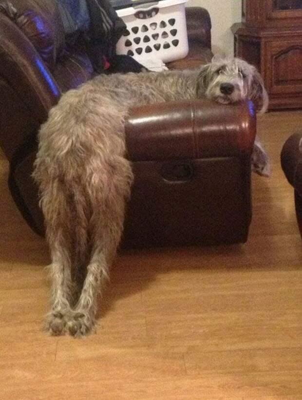 Это удобно? домашний питомец, животные, ирландский волкодав, размер, собака