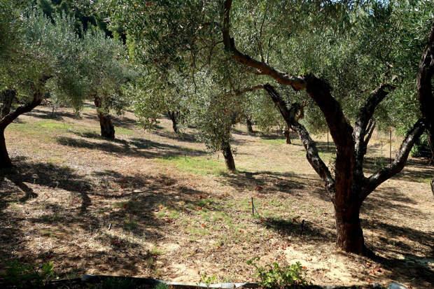Оливковый сад Константина