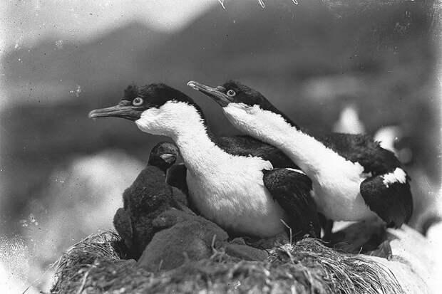 Бакланы защищают гнездо, о. Маккуори, приблизительно 1912 год Австралийская антарктическая экспедиция, антарктида, исследование, мир, путешествие, фотография, экспедиция