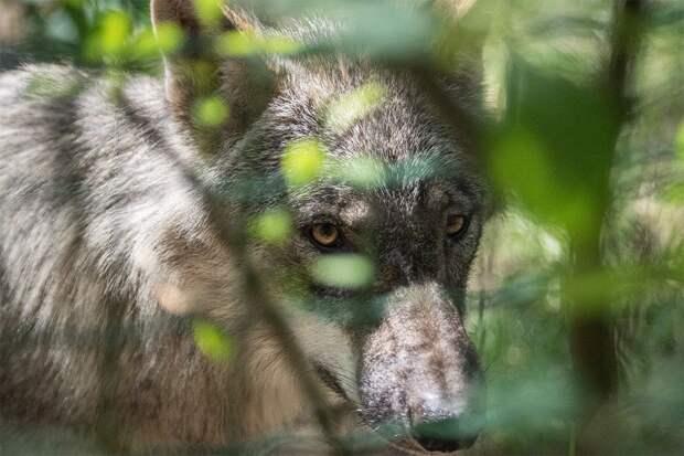 Ученые впервые засняли на камеру один день из жизни дикого волка