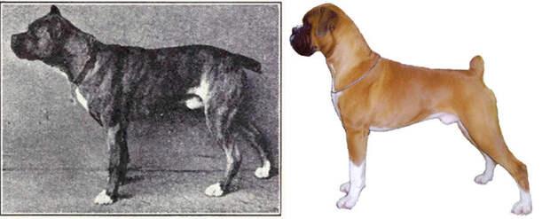 Измельчание пород собак: как человек превратил волка в мопса