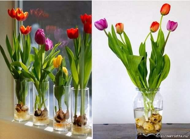 Выращивание тюльпанов в прозрачной вазе (7) (700x515, 185Kb)