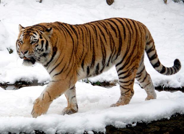 Как тигр отомстил браконьеру заболь икражу