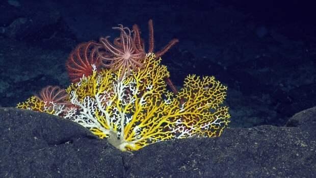 Гренландия или Норвегия: где находятся самые северные в мире коралловые рифы