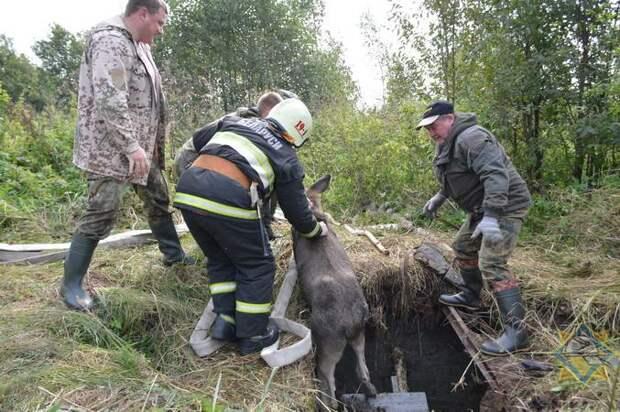 ВТолочинском районе лосенок провалился впогреб заброшенного дома. Доставали спасатели