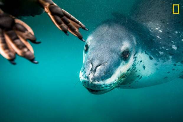 Морской леопард охотится  на пингвина (Фото: Рита Клюге) national geographic, животные, конкурс, конкурсант, путешествие, фотография, фотомир